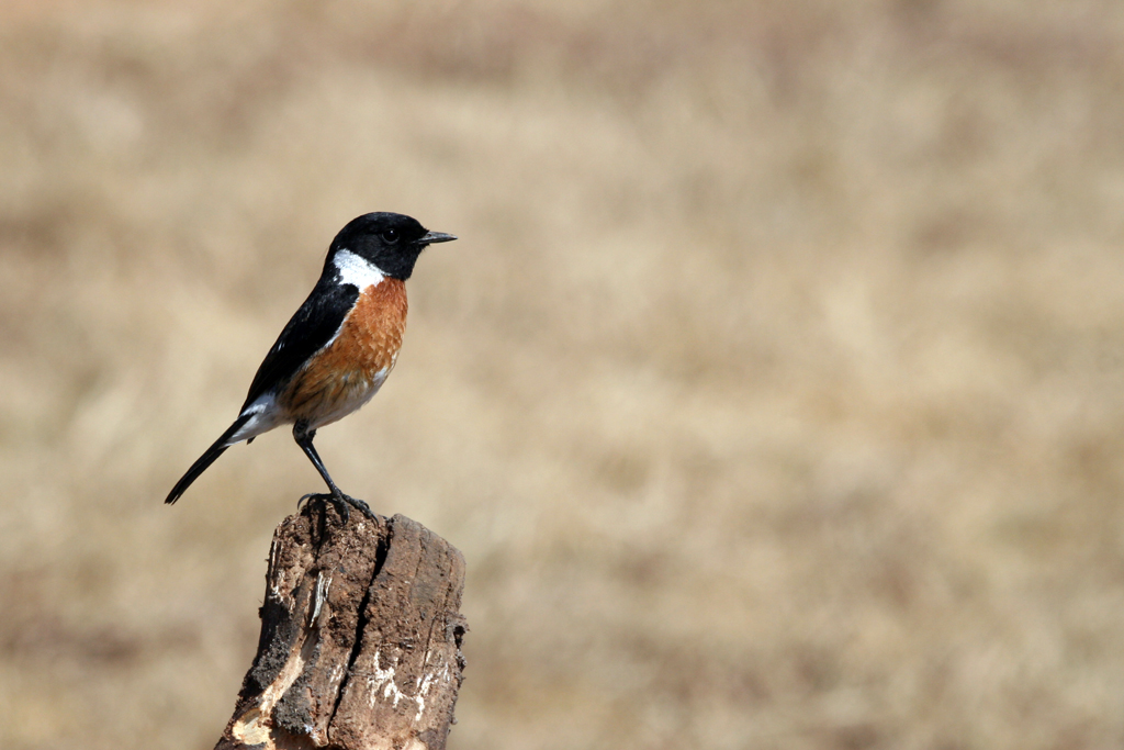 African or Common Stonechat / Rietvlei Nature Reserve, South Africa