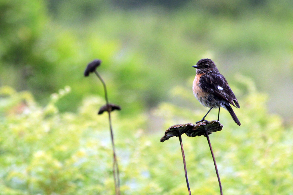 African or Common Stonechat / Thendele, Northern Drakensberg, South Africa