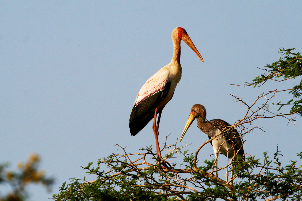 Yellow-billed Stork / Ndumo Game Reserve, South Africa / 18 September 2010
