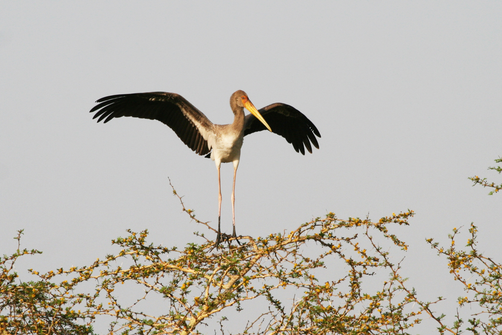 Yellow-billed Stork – juvenile / Ndumo Game Reserve, South Africa / 18 September 2010