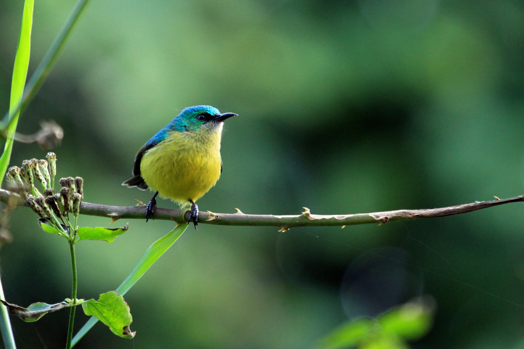 Collared Sunbird / Umdoni Forest, South Africa