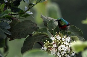 Eastern Double-collared Sunbird / Aberdares National Park, Kenya