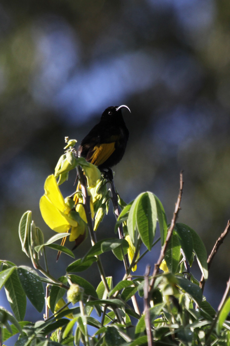 Golden-winged Sunbird – male / Aberdares National Park, Kenya