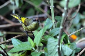 Golden-winged Sunbird - female / Aberdares National Park, Kenya