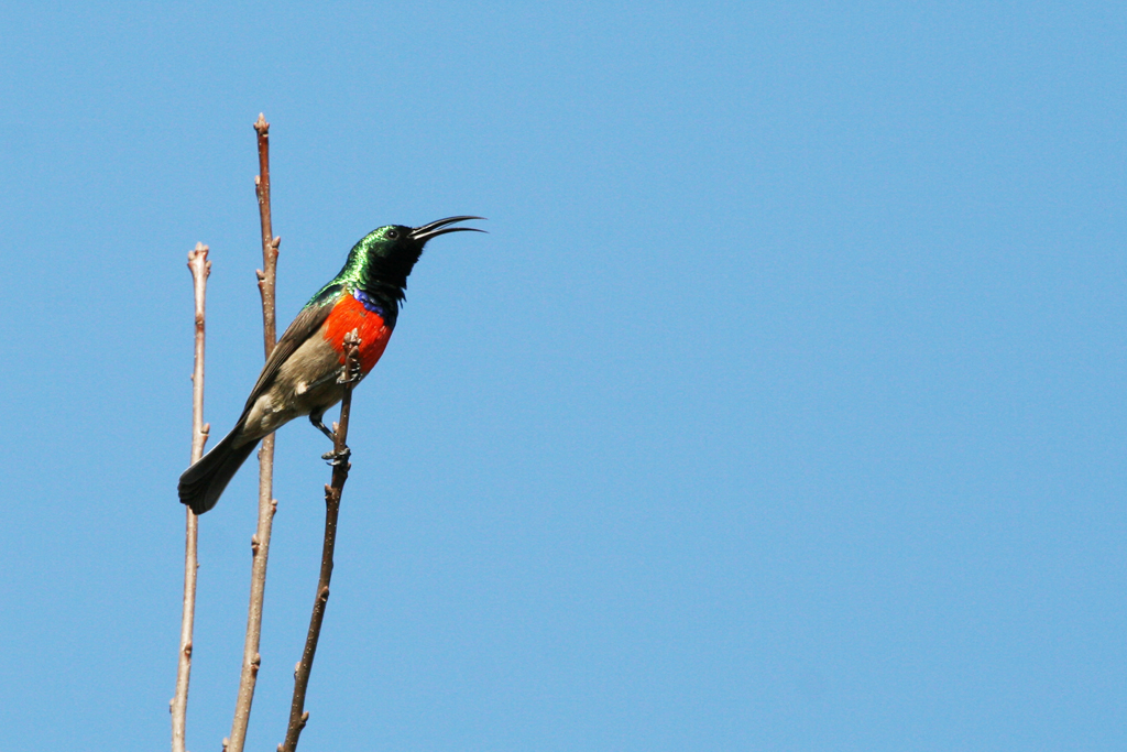 Greater Double-collared Sunbird / Kaapsehoop, South Africa