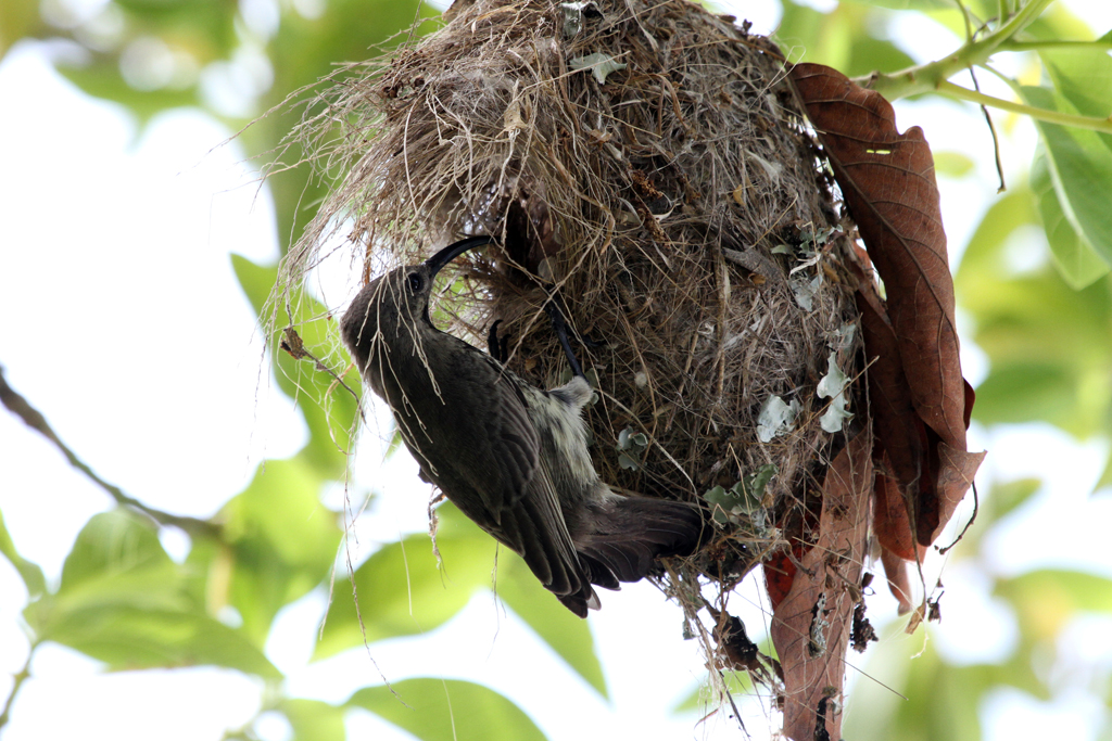 Scarlet-chested Sunbird – female & nest / Ocean View, South Africa