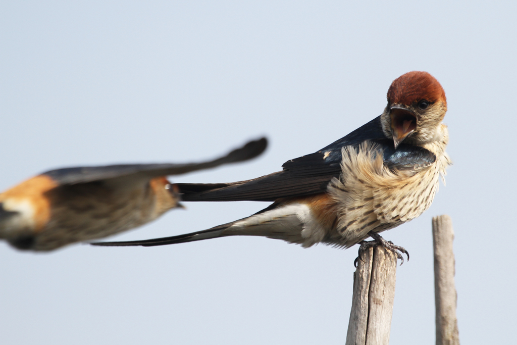Greater Striped Swallow / Marievale Bird Sanctuary, South Africa