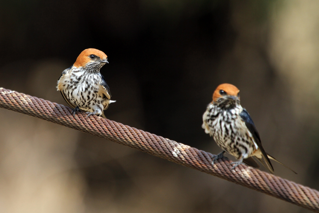 Lesser Striped Swallow / Pilansberg National Park, South Africa
