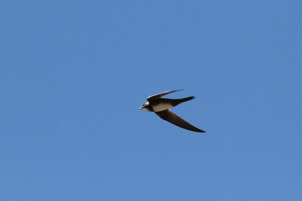 Alpine Swift  (Africanus) / Tanqua Karoo, South Africa