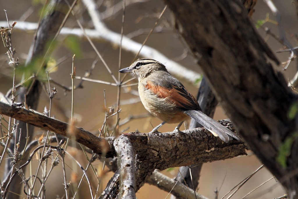 Brown-crowned Tchagra / Erongo Wilderness Camp, Central Namibia