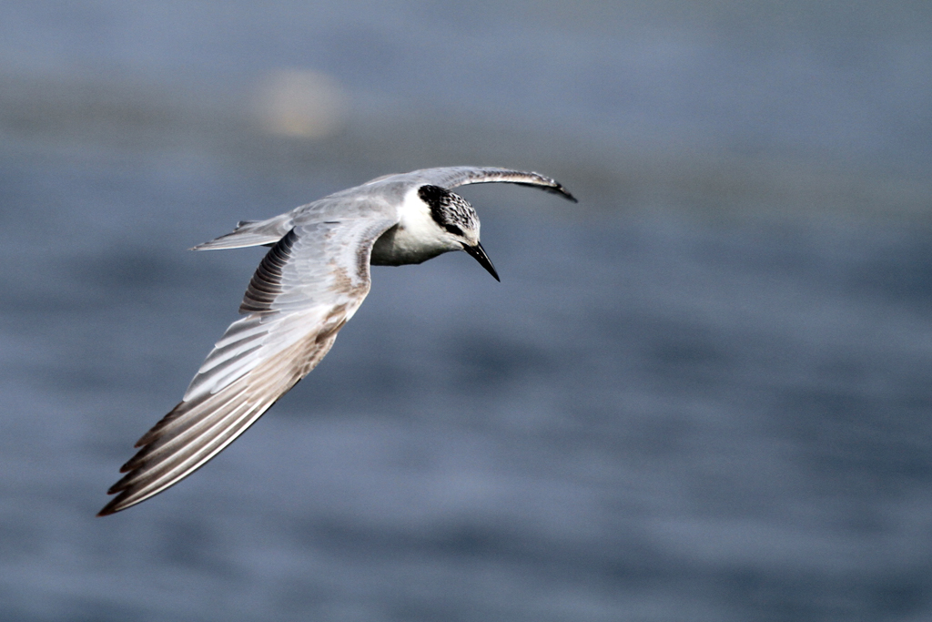 Whiskered Tern / Marievale Bird Sanctuary, South Africa