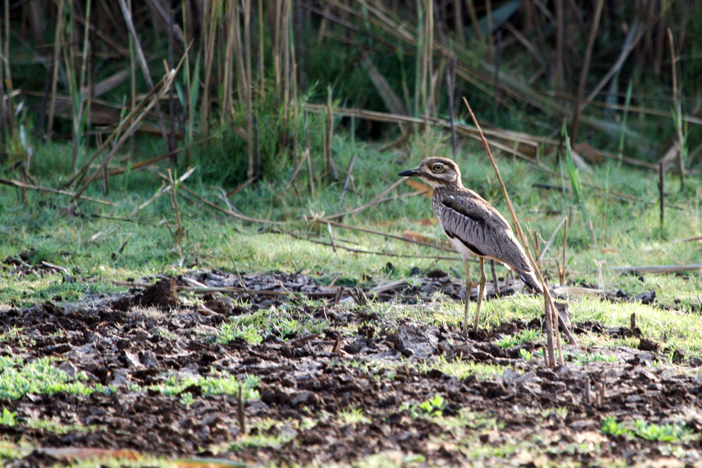 Water Thick-knee / Ndumo Game Reserve, South Africa