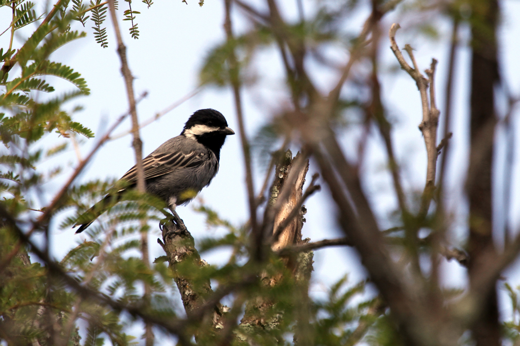 Ashy Tit / Vredefort Dome, South Africa