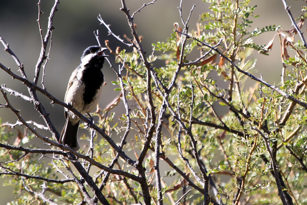 Grey Tit / Molteno Pass, Beeufort West, South Africa