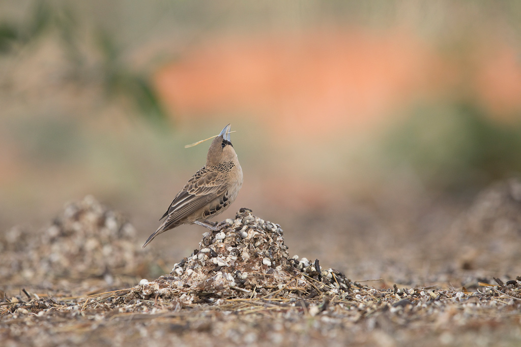 Sociable Weaver / Tswalu Kalahari Reserve, South Africa / July 2018