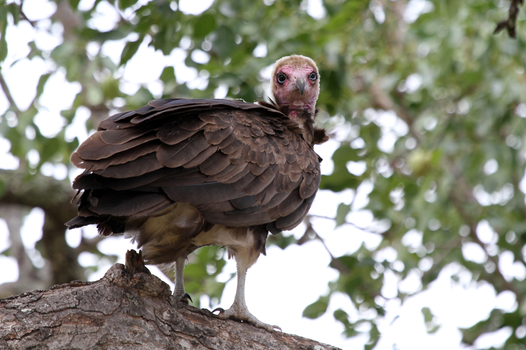 Hooded Vulture / Pretoriouskop, Southern Kruger National Park, South Africa