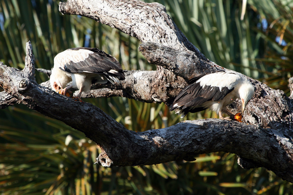 Palm-nut Vulture – male & female / Kosi Bay, South Africa