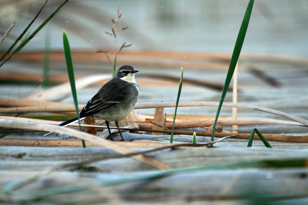 Cape Wagtail / Natal Midlands, South Africa / 25 April 2010
