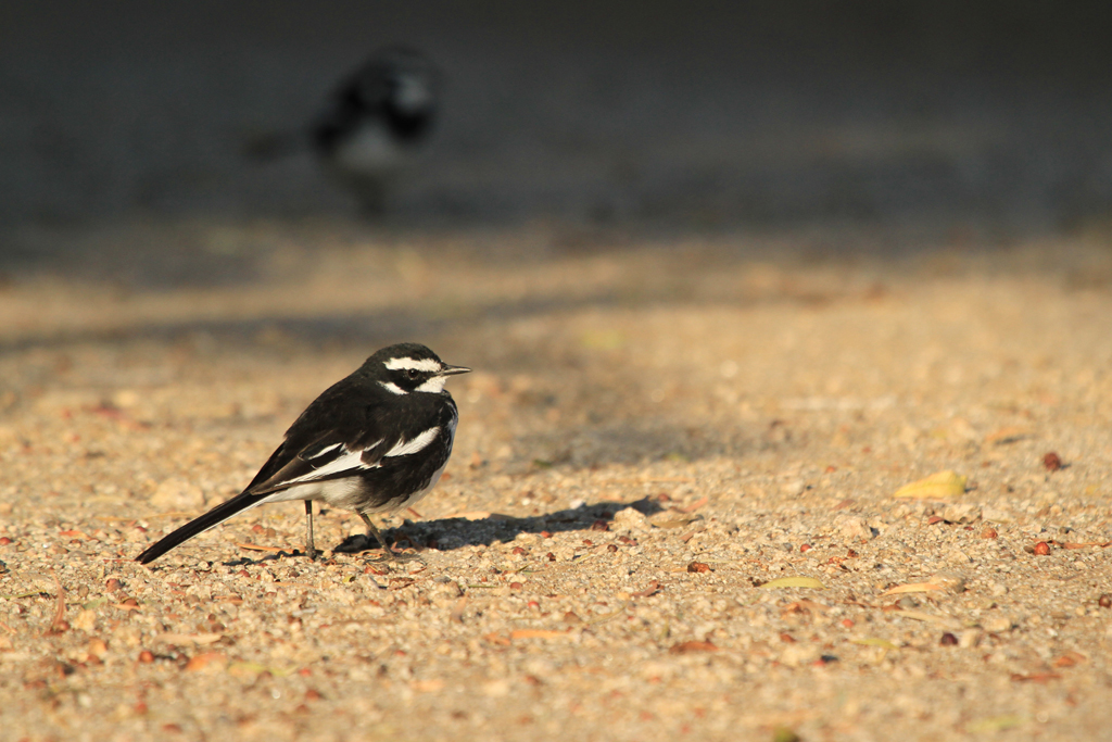 African Pied Wagtail / Augraabies National Park, South Africa / 01 August 2012