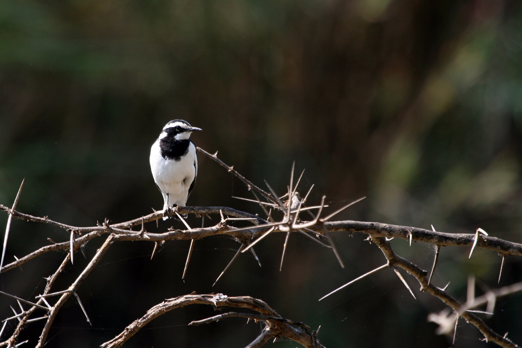 African Pied Wagtail / Ndumo Game Reserve, South Africa / 19 September 2012