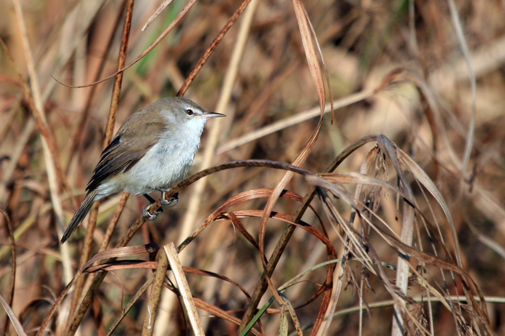 Lesser Swamp Warbler / Rietvlei Nature Reserve, South Africa / 12 June 2010