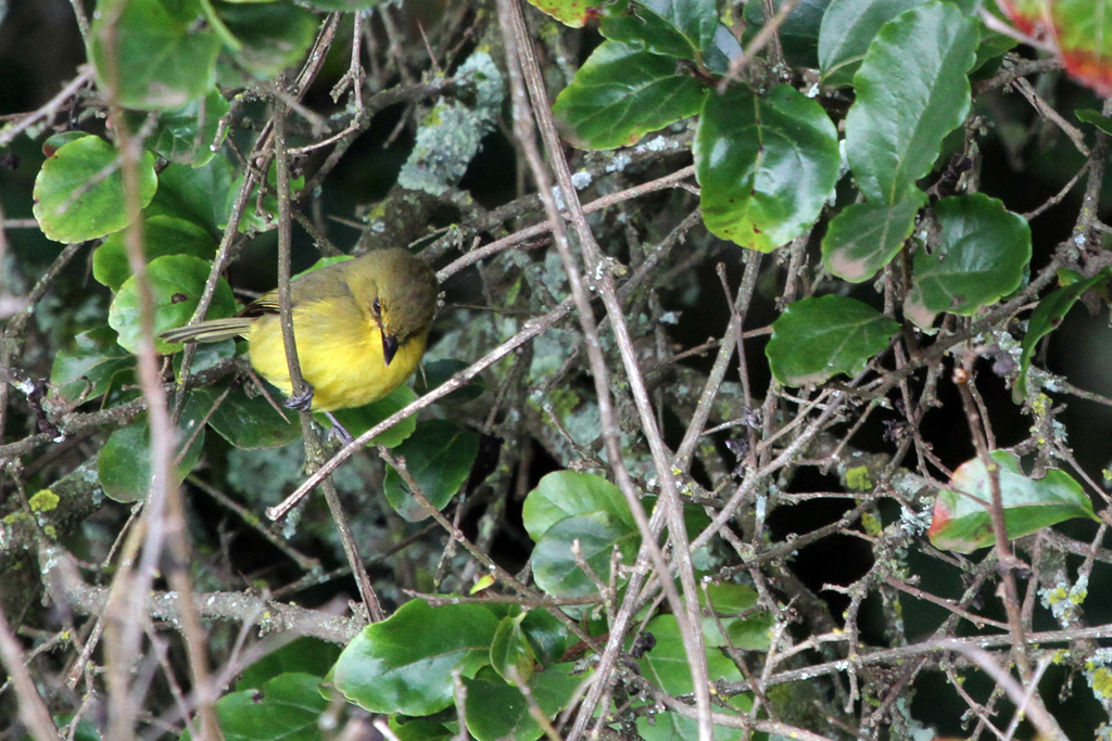 Mountain Yellow Warbler / The  Ark, Aberdares National Park, Kenya / 12 September 2011