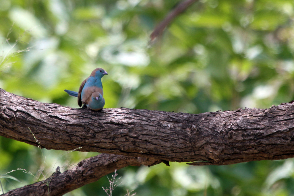 Blue Waxbill / Northern Kruger National Park, South Africa