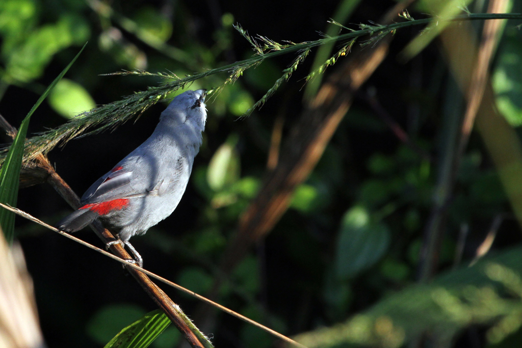 Grey Waxbill / Umdoni Forest, South Africa / 13 May 2011