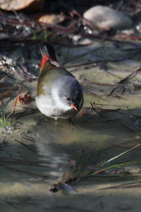 Swee Waxbill – female / Forest Valley, Knysna, South Africa / 08 July 2011