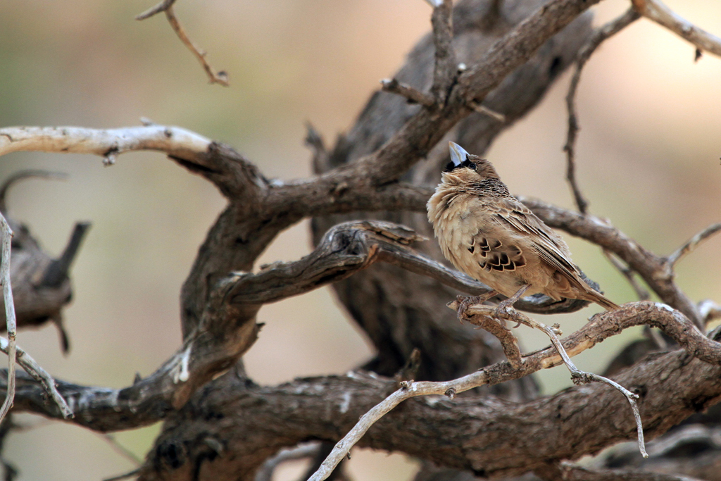Sociable Weaver / Aus, Southern Namibia / 05 July 2012