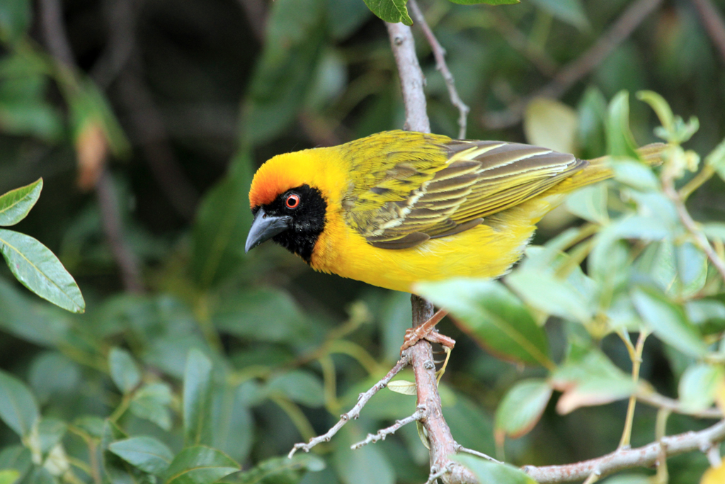 Southern Masked Weaver / Thendele, Northern Drakensberg, South Africa / 03 November 2012