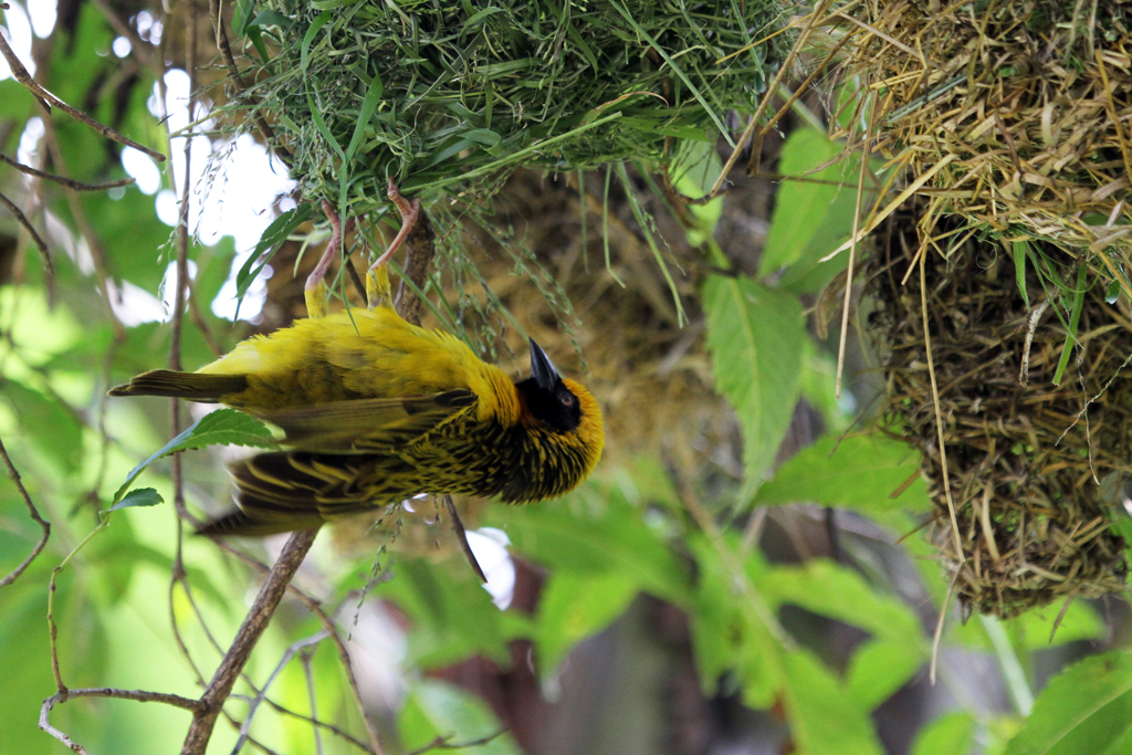 Speke's Weaver / Seravo Lion Hill Lodge, Lake Nakuru, Kenya / 12 September 2011