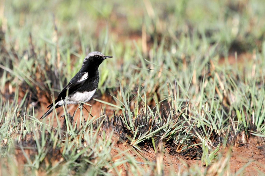 Mountain Wheatear or Mountain Chat (pied morph) / Suikerbosrand Nature Reserve, South Africa / 04 September 2010