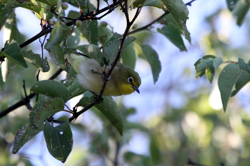 Orange River White-eye / Vredefort Dome, South Africa / 16 March 2012