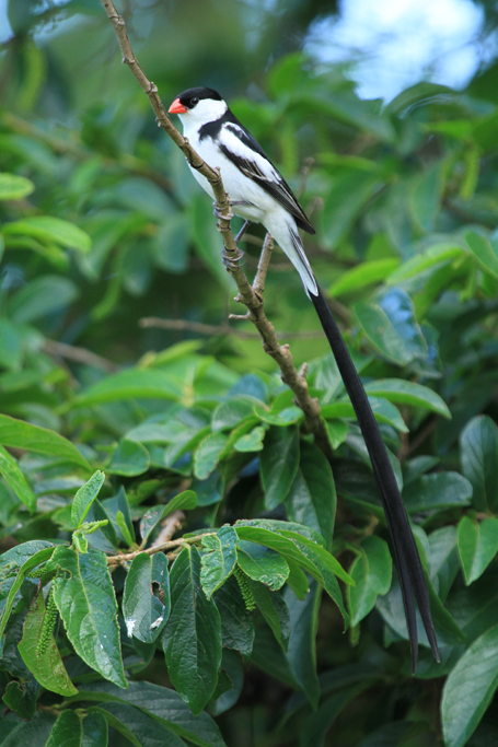 Pin-tailed Whydah – male / Ocean View, South Coast, KZN, South Africa / 17 November 2012