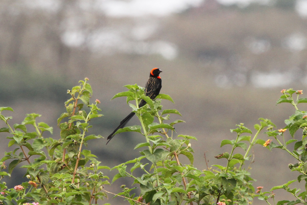Red-collared Widowbird (Suahaleca) / Kiambu, Kenya / 08 September 2011