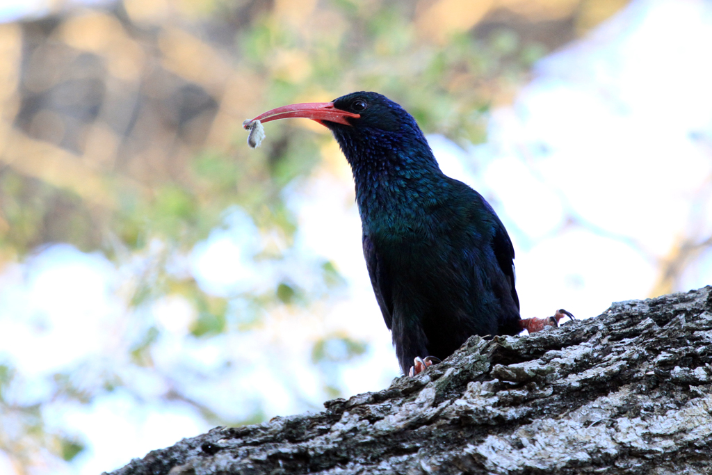 Green or Red-billed Wood-hoopoe / Kruger National Park, South Africa / 27 June 2012