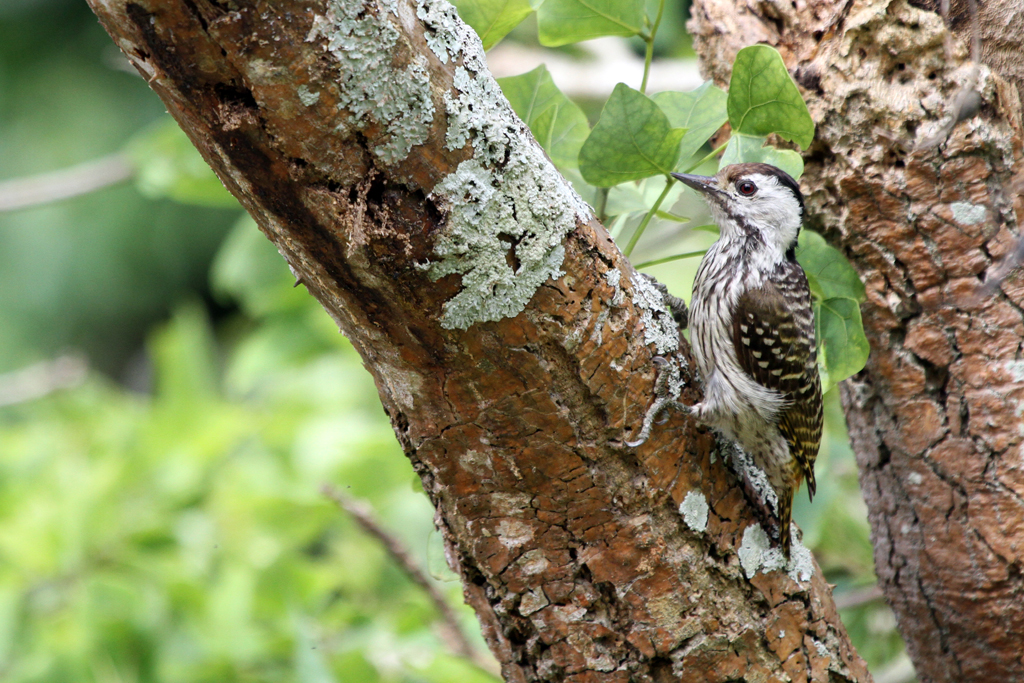 Cardinal Woodpecker – female / Ocean View, South Africa / 23 October 2012