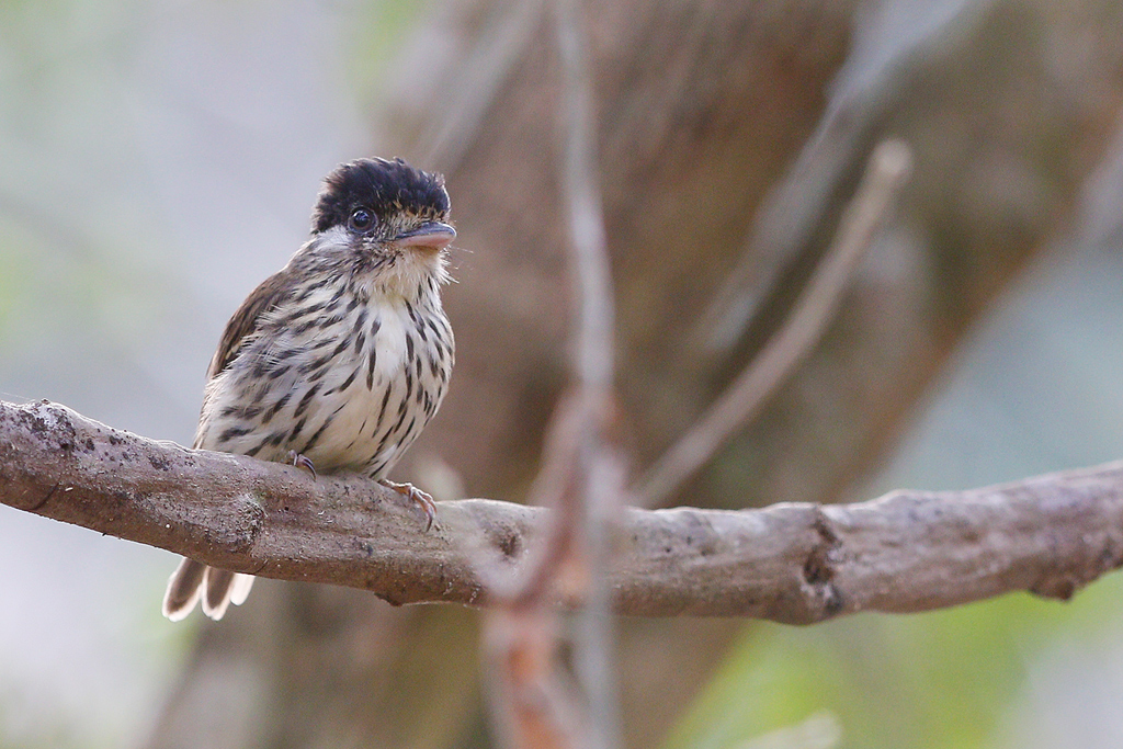 African Broadbill / Coutada 11, Mozambique / 13 October 2015