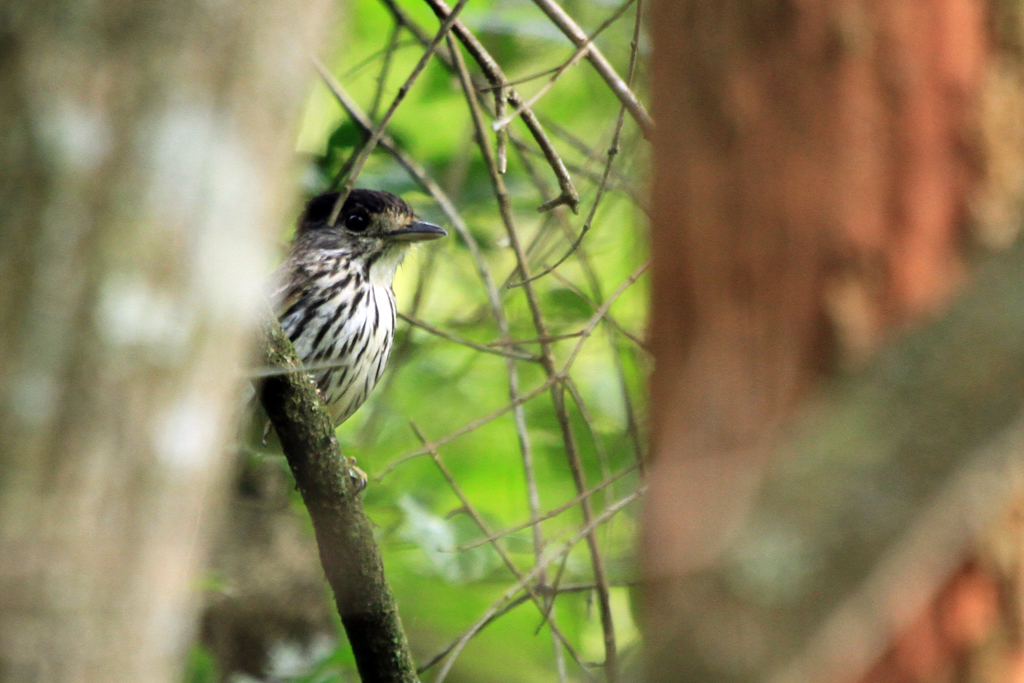 African Broadbill / Roodewal Forest, Soutpansberg, South Africa / 16 December 2012