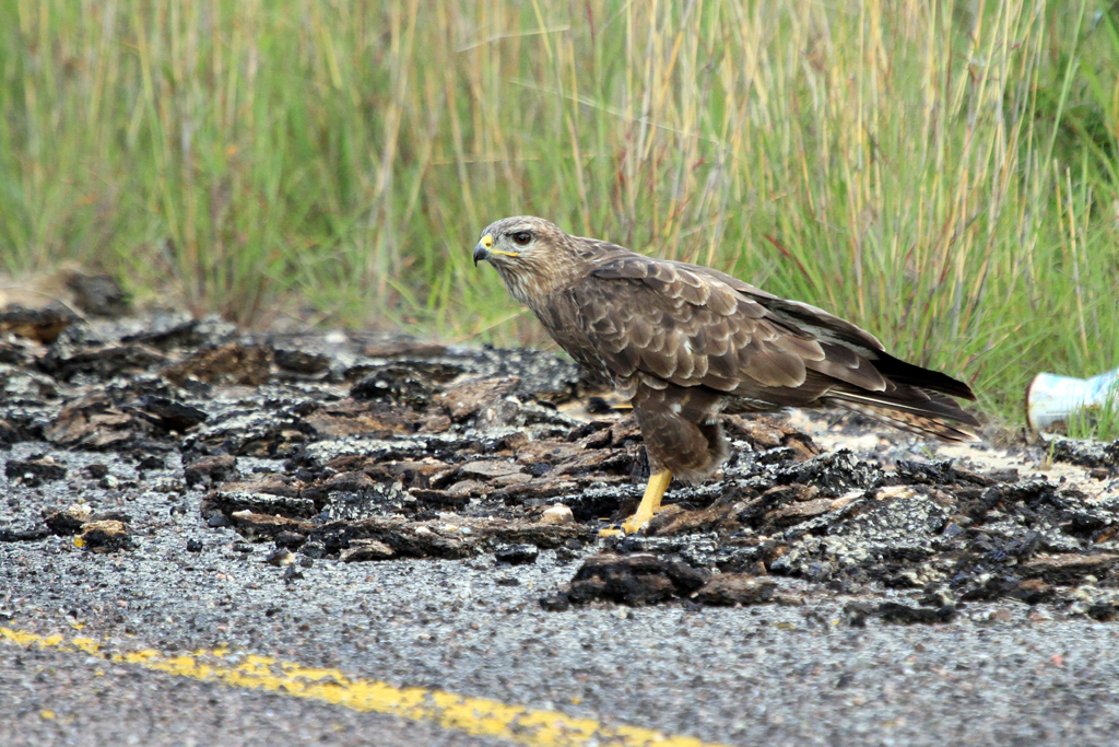 Steppe Buzzard / Magoeboskloof, South Africa / 15 December 2012