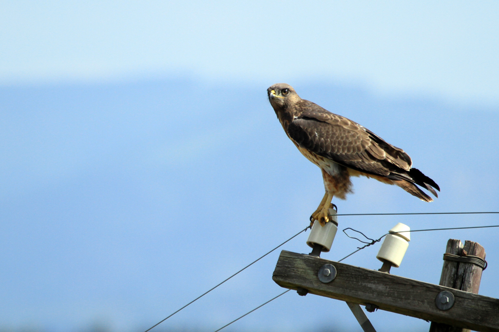 Steppe Buzzard / Magoeboskloof, South Africa / 14 December 2012