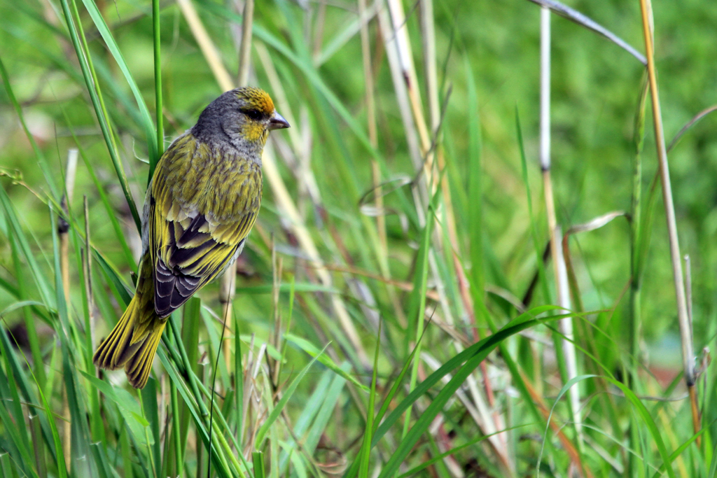 Cape Canary / Thendele Camp, Northern Drakensberg, South Africa / 02 November 2012