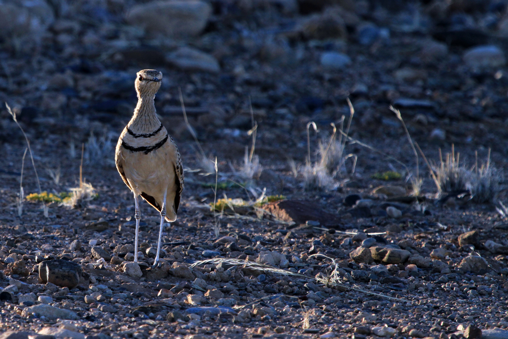 Double-banded Courser / Sossusvlei, Southern Namibia / 09 July 2012