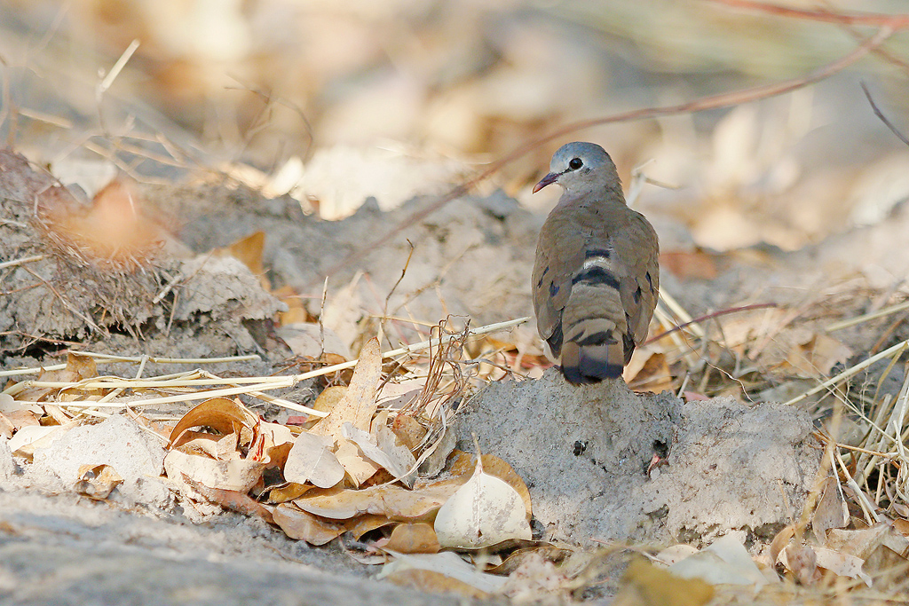 Blue-spotted Wood-dove / Dzanlanyama Forest, Malawi / 01 November 2016