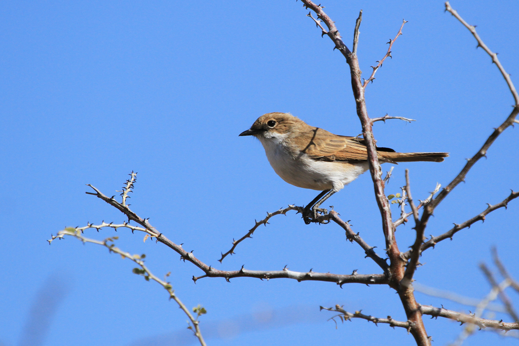 Marico Flycatcher / Etosha National Park, South Africa
