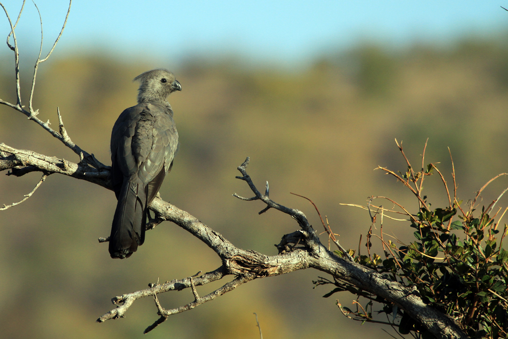 Grey Go-away Bird / Mokai Mokai, Waterberg, South Africa