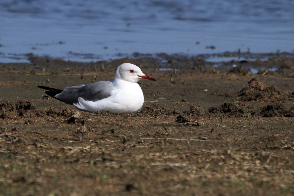 Grey-headed Gull / Mkhombo Dam Nature Reserve, South Africa