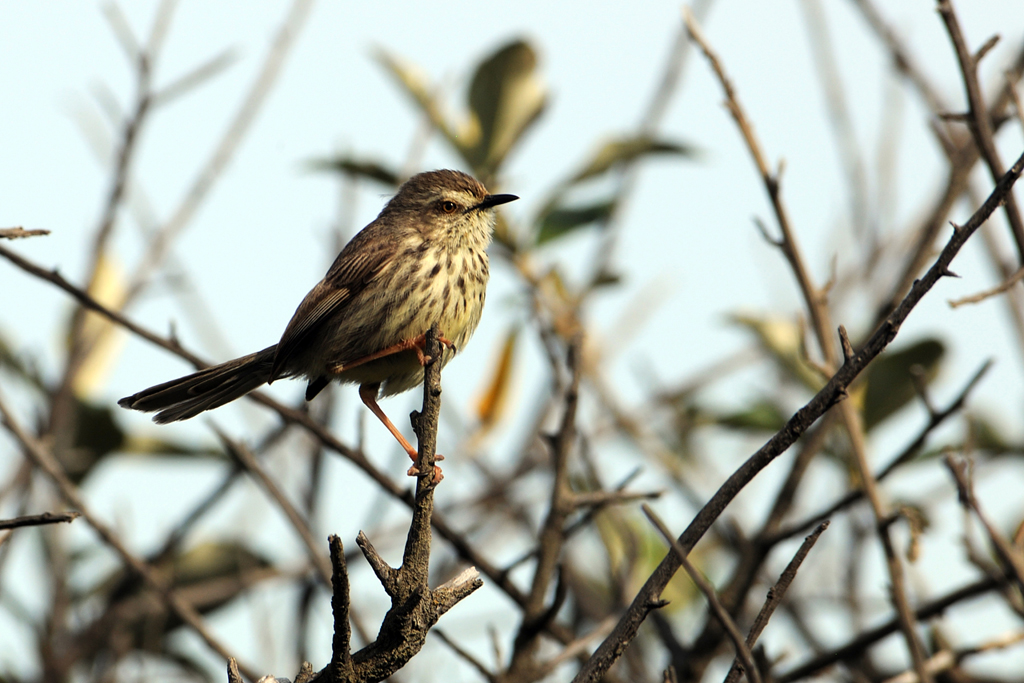 Spotted Prinia / Llandudno, Cape Town, South Africa