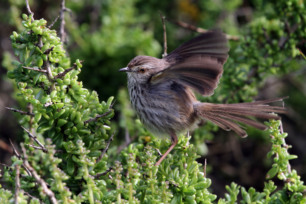 Spotted Prinia / West Coast National Park, South Africa